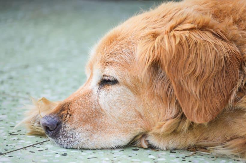 Hond ligt op de tegels