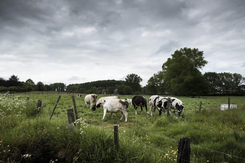 Koeien grazen op een groene weide.